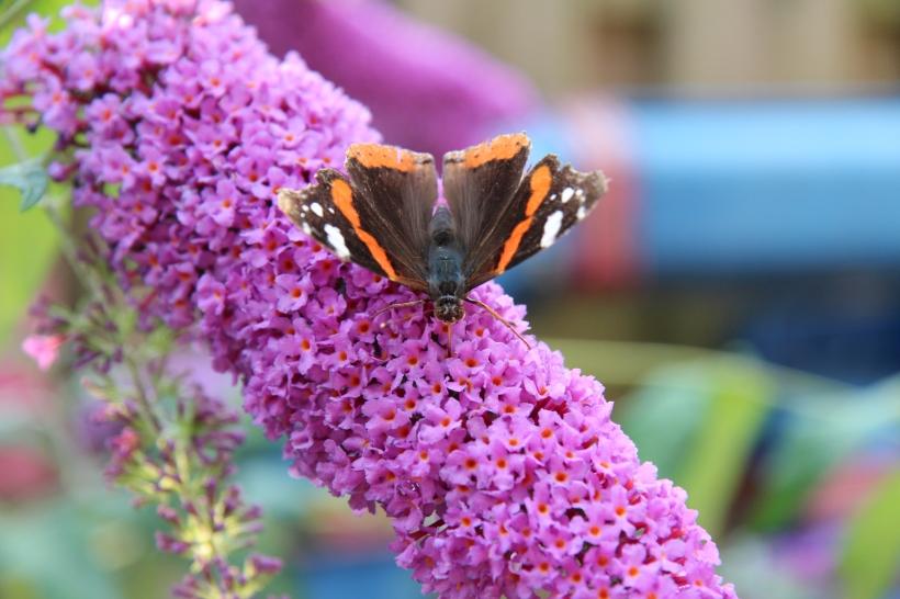Atalanta op de Vlinderstruik