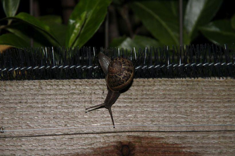 Segrijnslak overwint slakkenborstel